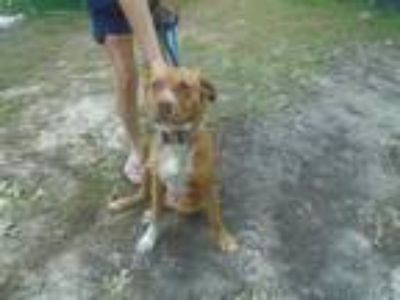 Adopt GOOD GIRL a Red/Golden/Orange/Chestnut - with White Labrador Retriever /