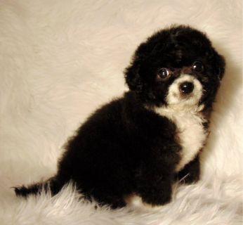 Female Malti Poo Black/white