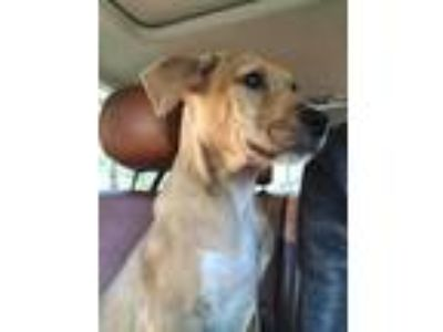 Adopt Falcon (p) (Sandpiper Litter) a Hound (Unknown Type) / Shepherd (Unknown