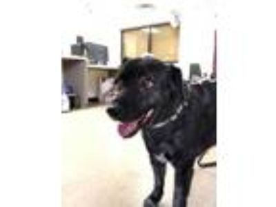 Adopt Mae a Black Retriever (Unknown Type) / Mixed dog in Fort Worth