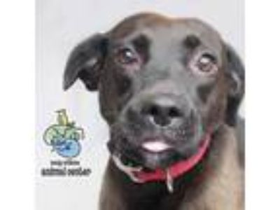 Adopt Harley a Brown/Chocolate Labrador Retriever / American Pit Bull Terrier