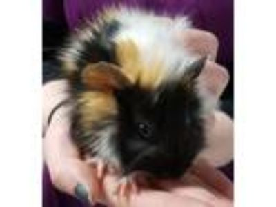 Adopt Bit-O-Honey a Guinea Pig