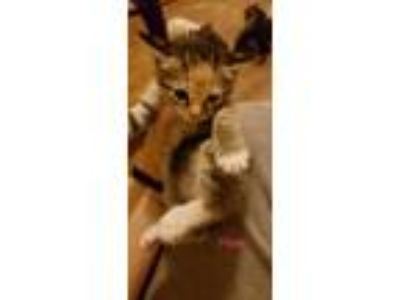 Adopt Piper a Calico or Dilute Calico Domestic Shorthair (short coat) cat in