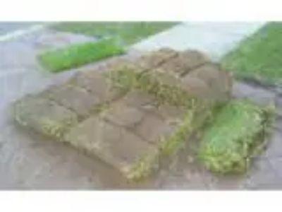 Free palmetto lawn