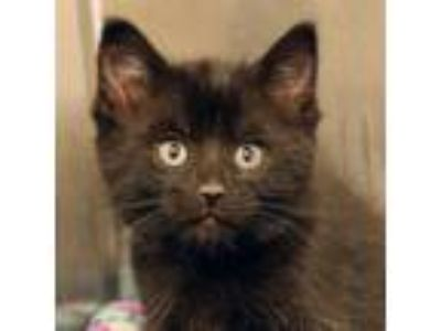Adopt Moo a All Black Domestic Shorthair / Domestic Shorthair / Mixed cat in Ann