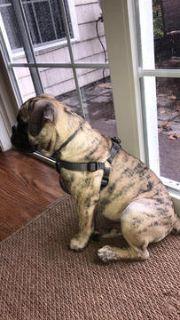 Bulldog PUPPY FOR SALE ADN-58185 - Miniature Bulldog for Sale