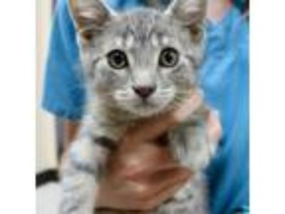 Adopt Joad a Gray, Blue or Silver Tabby Domestic Shorthair (short coat) cat in