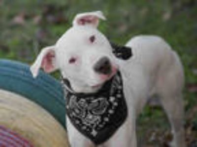 Adopt MICK a White American Pit Bull Terrier / Mixed dog in Rosenberg