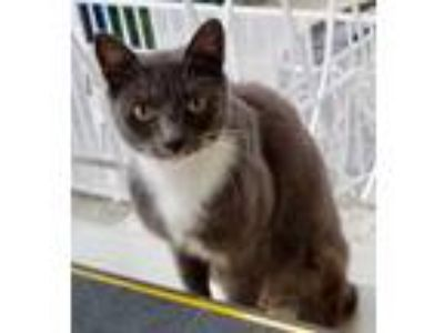 Adopt Nubia a Gray or Blue (Mostly) Domestic Shorthair (short coat) cat in