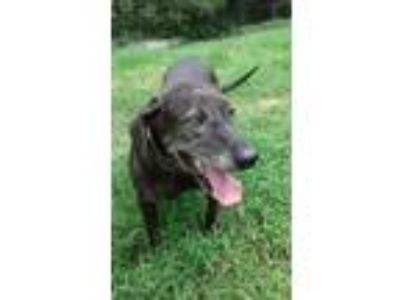 Adopt Bessie a Black Labrador Retriever / Mixed dog in Columbia, TN (22814768)