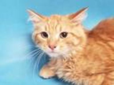 Adopt Harris a Orange or Red Domestic Mediumhair / Mixed cat in St.