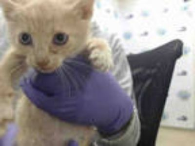 Adopt EUGENE a Orange or Red Tabby Domestic Shorthair / Mixed (short coat) cat