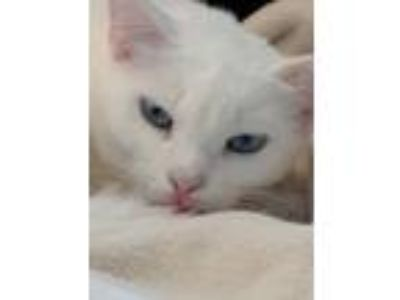 Adopt Pandora a Birman, Domestic Short Hair