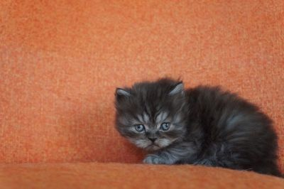 Black Tabby Persian