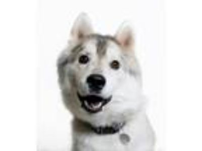 Adopt Snow a White - with Gray or Silver Siberian Husky / Mixed dog in Truckee