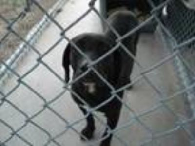 Adopt Stray/WinnDixie/Avail 5/21 a Black Retriever (Unknown Type) / Mixed dog in
