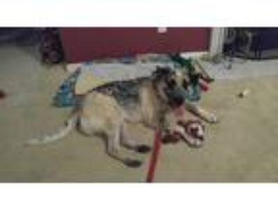 Adopt Moses a Brindle - with White German Shepherd Dog / Australian Shepherd /