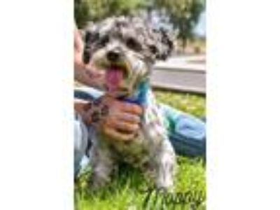 Adopt Moppy a Gray/Blue/Silver/Salt & Pepper Poodle (Toy or Tea Cup) / Mixed dog
