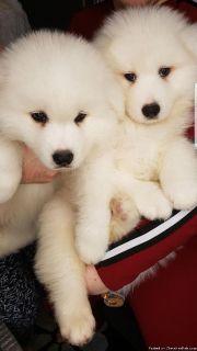 Beautiful pure white samoyed puppies