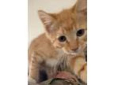 Adopt Archie a Orange or Red Tabby Domestic Shorthair (short coat) cat in