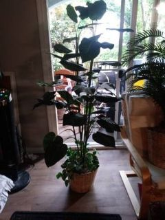 "63"" Tall Artificial Broad Leaf Silk Plant in pot"