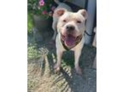 Adopt Dobby 266-19 a Pit Bull Terrier