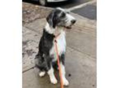 Adopt Heaven a Gray/Silver/Salt & Pepper - with Black Irish Wolfhound / Mixed