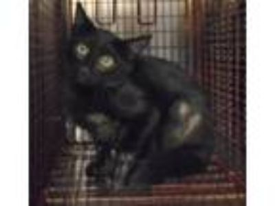 Adopt a Domestic Shorthair / Mixed cat in Raleigh, NC (25844843)