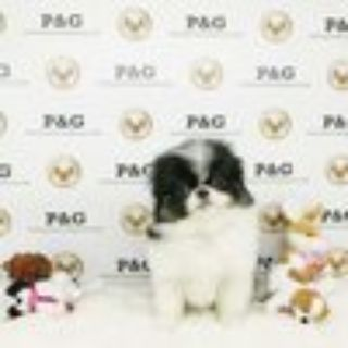 Japanese Chin PUPPY FOR SALE ADN-70289 - Japanese Chin  Danie  Male