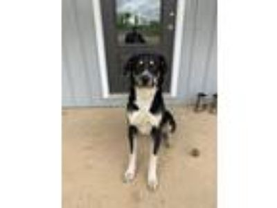 Adopt Duke a Black - with Tan, Yellow or Fawn Great Pyrenees dog in Pomona