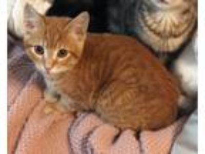 Adopt Tiger Guy a Orange or Red Tabby Domestic Shorthair (short coat) cat in