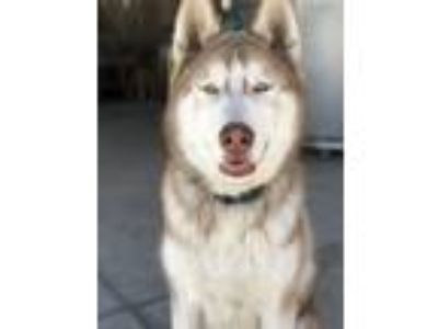 Adopt Spade a Tan/Yellow/Fawn - with White Husky / Mixed dog in San Jose