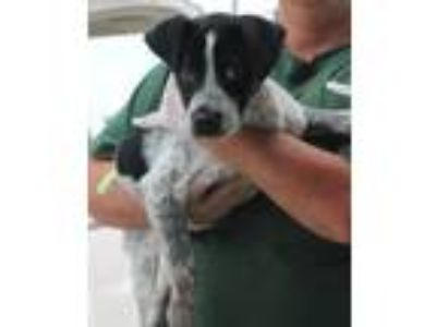 Adopt Scotty -Puppy Foster Needed 6/8 a Australian Cattle Dog / Blue Heeler