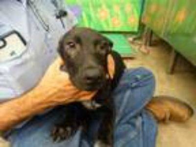 Adopt SPIKE a Labrador Retriever, Border Collie