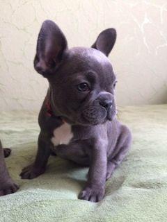 French Bulldog PUPPY FOR SALE ADN-100362 - French bulldog puppies