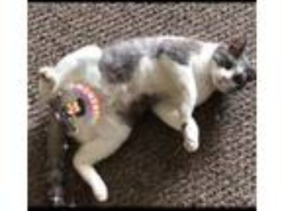 Adopt Milo a Gray, Blue or Silver Tabby American Shorthair / Mixed cat in