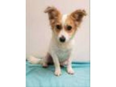 Adopt Maybeline a White Jack Russell Terrier / Mixed dog in Phoenix