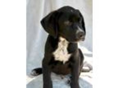 Adopt Bobby Lonestar a Black - with White German Shorthaired Pointer / Border