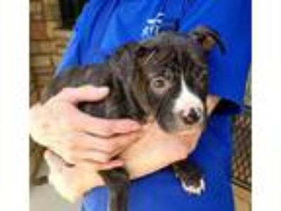 Adopt Molly a Black American Pit Bull Terrier / Mixed dog in Irving