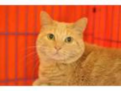 Adopt Lily Pad a Tan or Fawn Domestic Shorthair / Domestic Shorthair / Mixed cat