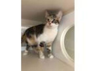 Adopt Taffy a Domestic Short Hair