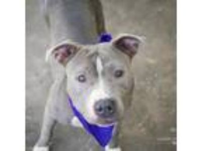 Adopt ginger a Gray/Silver/Salt & Pepper - with Black American Pit Bull Terrier