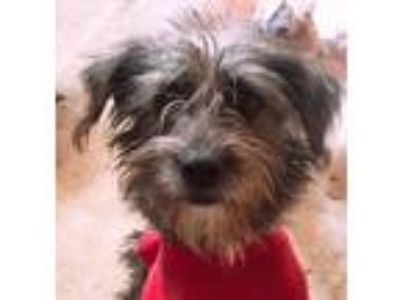 Adopt Lucha from Mexico a Standard Schnauzer / Mixed dog in Seattle