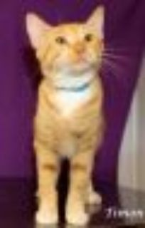 Timon - PETSEN$E American Shorthair Cat