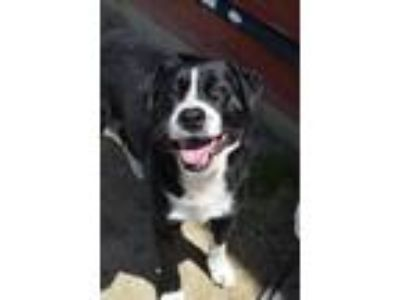 Adopt Jack a Hound, Border Collie
