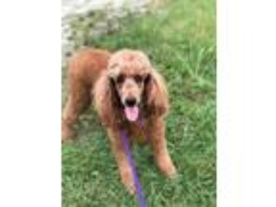 Adopt Charlotte a Standard Poodle