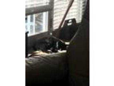 Adopt Jackie a All Black Domestic Shorthair cat in Lexington, NC (25521257)