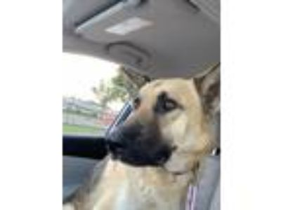 Adopt Mission a Tan/Yellow/Fawn - with Black German Shepherd Dog / Mixed dog in