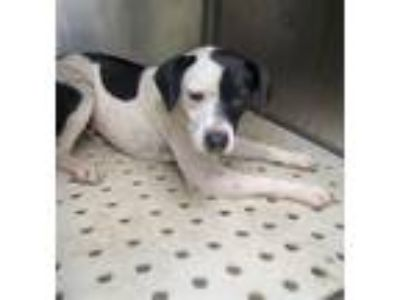 Adopt Grendel a Terrier (Unknown Type, Medium) / Beagle / Mixed dog in