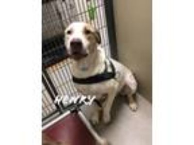 Adopt Henry 116151 a White Labrador Retriever dog in Joplin, MO (25323434)